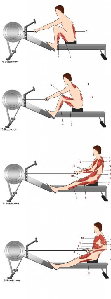 músculos activados durante el remo